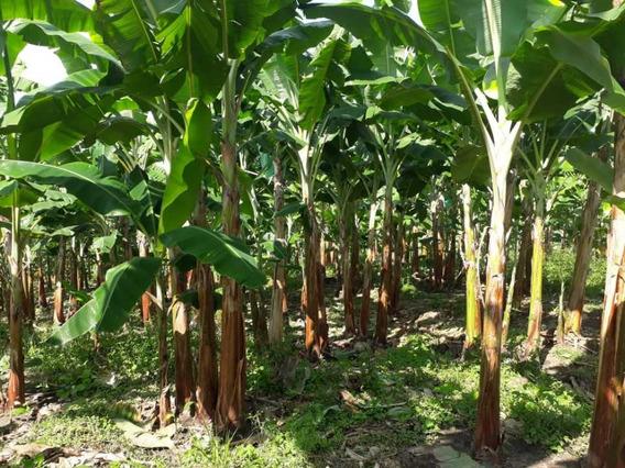 Finca Productiva Cultivada En Platano En Calarca
