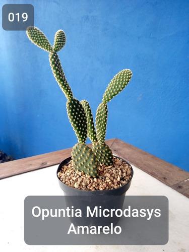 Imagem 1 de 8 de Muda Cactos Orelha-de-coelho | Opuntia Microdasys Amarelo