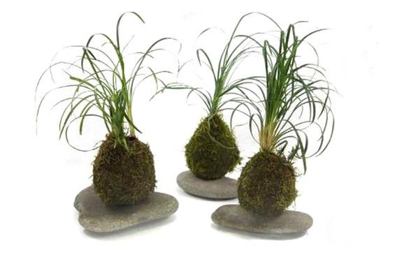 Kokedama De Ophiopogon Plantas En Musgo Original Unico