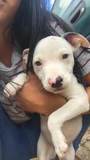 Filhotes De American Starfforshire Terrier