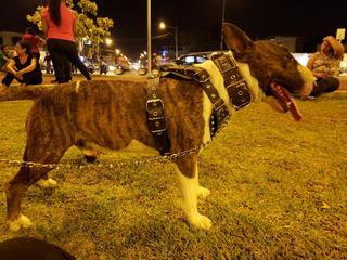 Bull Terrier Ingles Semental Para Monta