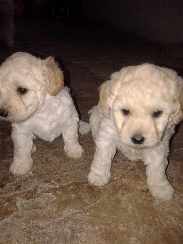 Poodle Mini Toy Casal