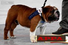 Monta Bulldog Ingles Pajilla Bulldog Padre Registrado Campeo