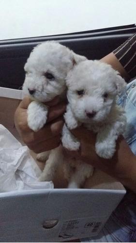 Filhotes De Poodle Micro Toy   Minúsculos Entrego Ou Retire