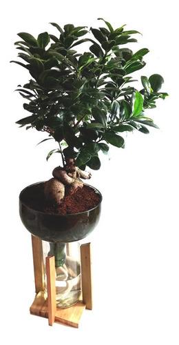Ficus Ginseng Little Plant 32 Con Soporte Autorregante