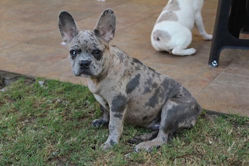 Blue Merle Bulldog Francés (exótico)