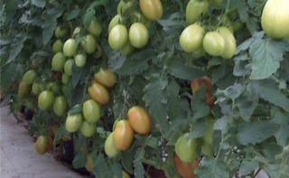 5000 Semillas Hibrida De Tomate Saladette Indeterm Malinche