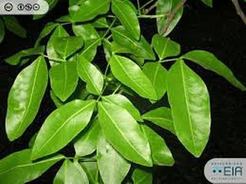 Plantas De Mamon