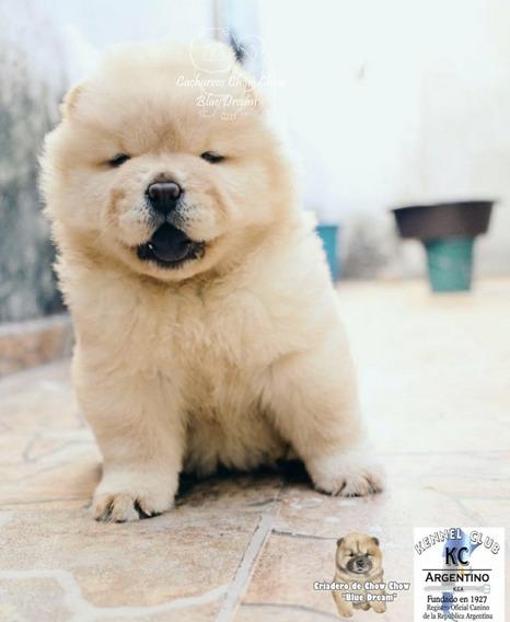 Cachorros Chow Chow Blancos/crema Con Pedigrí. Envios/cuotas