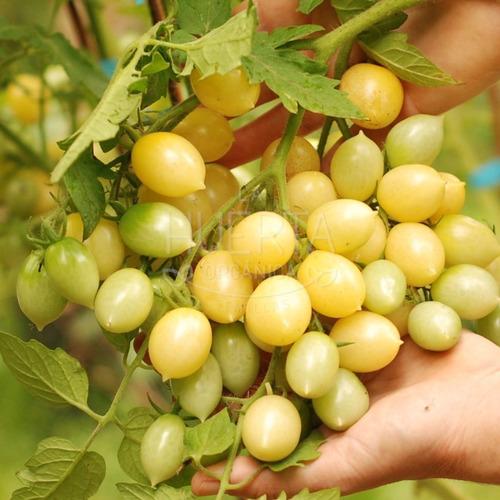 Semillas Tomate Cherry Barrys Crazy! Blanco Multiflora!