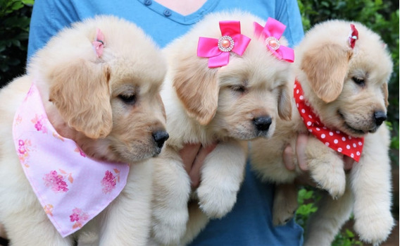 Lindos Filhotes De Golden Retriever - C. Effect Golden