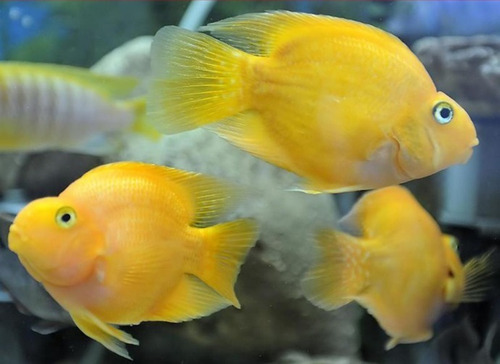 Imagem 1 de 1 de Peixe Papagaio