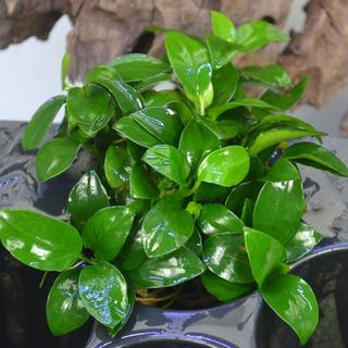 Planta Acuatica Anubias Nana, Lanceolata,coffeifolia, Pinto