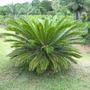 Belas Mudas De Palmeira Cica - Cycas Revoluta