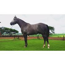 Cavalo Quarto De Milha Po Registrado Com Genética Importada