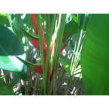 Venta De Rizomas Y Plantas De Heliconias