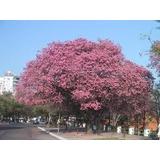 Sobre Con 10 Semillas Siembra De Lapacho Rosa