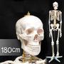 Modelo Didactico Esqueleto Humano Tamaño Real 170cm