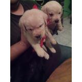 Cachorros Bebes Labrador Dorados