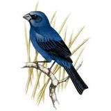Hormônio Feromônio Esquenta Pássaro Azulão Indutor Canto