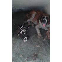 Hermosos Cachorros San Bernardo