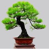 10 Sementes Pinheiro Negro Japonês Pinus Bonsai Ou Árvores