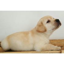 Filhotes De Labrador (porte Inglês )