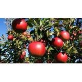 Serragem De Macieira Defumar E Aromatizar Alimentos 2kg