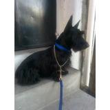Terrier Escoces Negro Solido Para Montas En Cuernavaca!!!