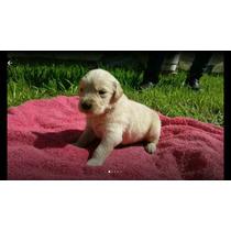 Cachorros Golden Retriever Puros. Los Mas Lindos!!!