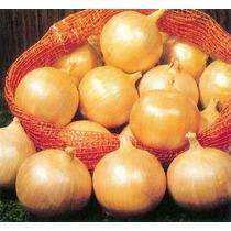 + De 3000 Semillas De Cebolla Amarilla Early Texas Grano 502