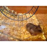 Combo Hamster Pecera+viruta+comida+rueda+hamster,en Capital!