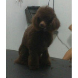 French Poodle Chocolate Para Monta , Maquila