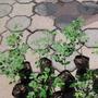 Plantas De Moringaoleifera