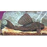 Plecostomus Limpia Vidrios 20 A 25 Cm