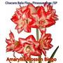 01 Bulbo Semente De Amaryllis Blosson Bingo Dobrada