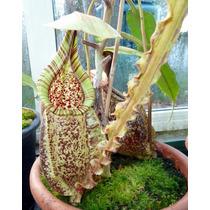 Sementes Planta Carnivora Nepenthes Rafflesiana Alata Mudas
