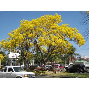 1 Semilla De Árbol De Flor De Primavera Hermoso