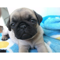 Filhote Pug Femea Abricot - Linda-atibaia-pedigree
