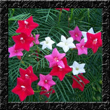 Trepadeira Estrela Mix Ipomoea Sementes Flor Para Mudas