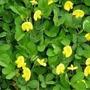 Sementes De Amendoim Forrageiro 50g Para Jardins Mudas