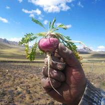 Maca Peruana Roja Lepidium Meyeni 30 Semillas Envio Gratis