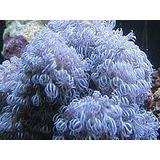Pacote Para Aquario Marinho --- 2 Peixe Palhaço + 5 Corais