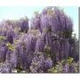 Beta-flores= Muda Da Trepadeira Glicínia Lilas