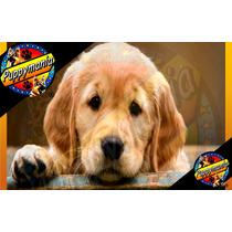 Cachorros Golden Retriever 100% Legitimos