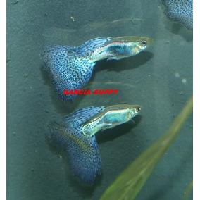 Guppy Lebister Blue Glass