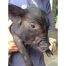 Mini Porco Filhote