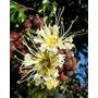 Muda Dedaleira - Árvore Ornamental E Sombra - Bonsai