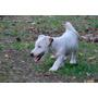 Cachorros De Jack Russell Terrier- Imperdibles! Hermosos!!!