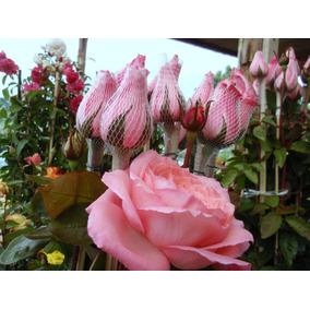 Mudas De Rosas Enxertadas Coloridas (kit 6 Mudas Raiz Nua)